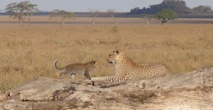 A leopard mum and her cub in the Serengeti