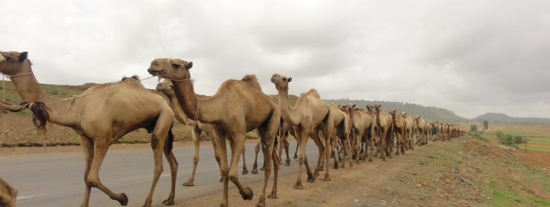 A camel trains drifts out of Axum, Ethiopia, on the way to market